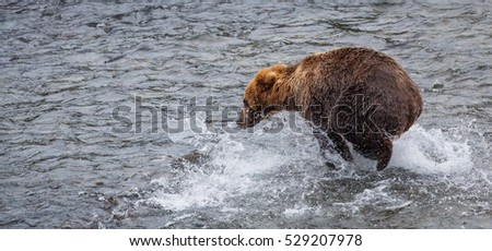 An Alaskan brown bear (Ursus arctos) run to catch salmons near Brook falls, Katmai National Park, AK