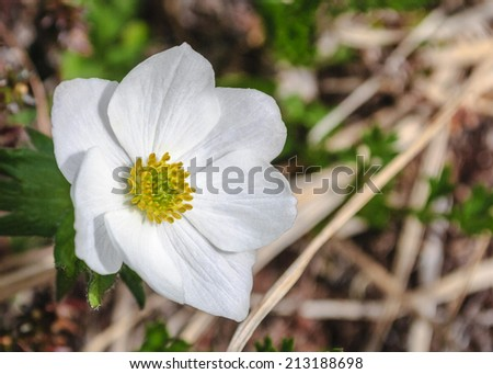 An Alaskan wildflower, the Anemone, in the late spring sunshine. - stock photo