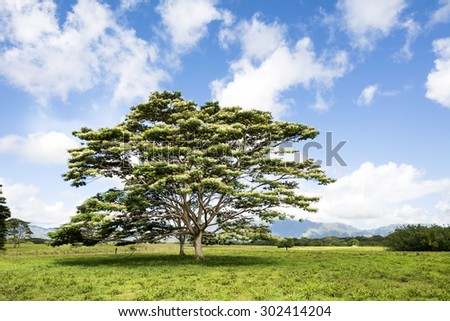 An Albezia tree grows in the middle of a meadow of a countryside location in Kauai Hawaii. - stock photo