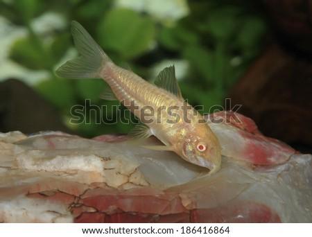 An Albino Cory Catfish in an Aquarium - stock photo
