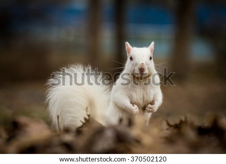 An albino gray squirrel in winter at the city park in Olney, Illinois. The city is known for its population of white squirrels.