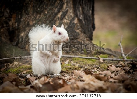 An albino gray squirrel in winter at the city park in Olney, Illinois. The city is known for its population of white squirrels. - stock photo