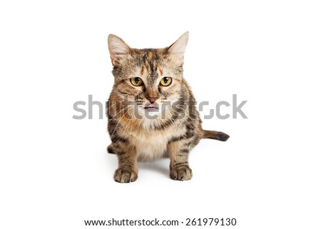 An alert and attentive  Domestic Shorthair Tortie Cat laying with body facing the camera.   Cat is licking its lips while looking forward.  - stock photo