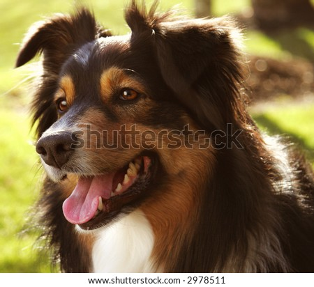 an alert australian shepherd (aussie) black tricolor in the early morning sunlight looking off camera - stock photo
