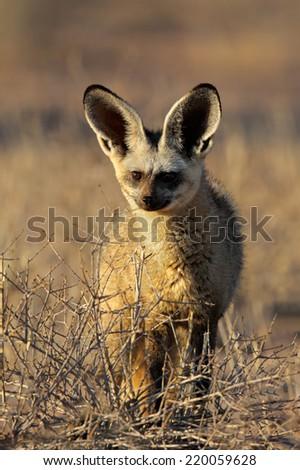 An alert bat-eared fox (Otocyon megalotis), Kalahari desert, South Africa - stock photo