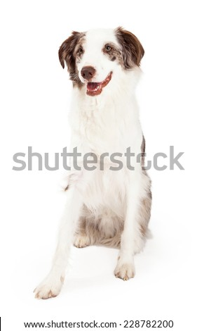 An alert Border Collie Dog sitting at an angle with open mouth.