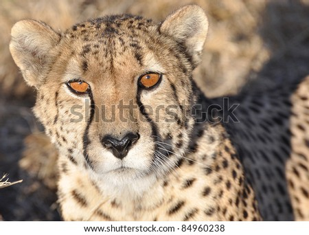 An alert cheetah in Africa - stock photo