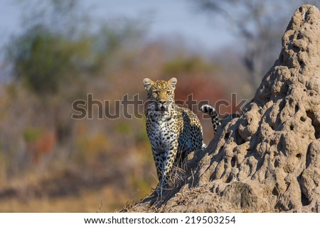 An alert female Leopard stands on an anthill looking for prey. - stock photo
