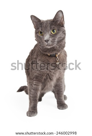 An alert Grey Domestic Shorthair Cat partially sitting while looking off to the side.  - stock photo