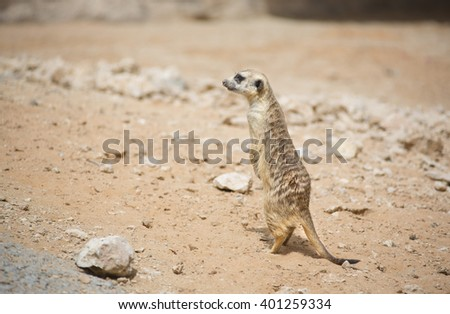 An alert meerkat (Suricata suricatta) on lookout duty sitting upright in the sun in a desert background