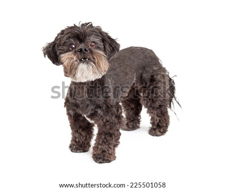 An alert mixed breed small dog standing at an angle while looking into the camera.  - stock photo
