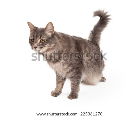 An alert Tabby Cat looks to be stalking its prey.  - stock photo