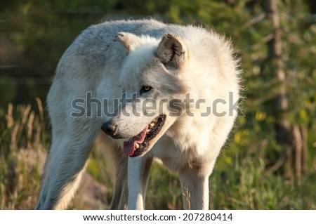 An alert white wolf stands at attention - stock photo