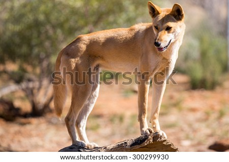 An alert wild dingo near Alice Springs, Northern Territory, Australia - stock photo