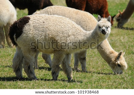 An alpaca (Vicugna pacos) is a domesticated species of South American camelid. It resembles a small llama in appearance - stock photo