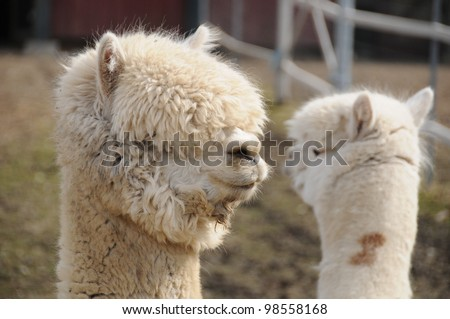 An alpaca (Vicugna pacos) is a domesticated species of South American camelid. It resembles a small llama in appearance