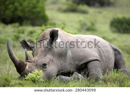 An amazing low angle image of a huge rhinoceros / rhino with a massive horn sleeping in an open field in South Africa - stock photo