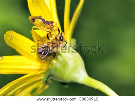 An Ambush Bug perched on a flower eating a bee.
