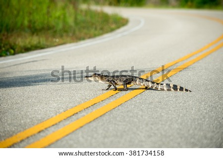 An American Alligator crosses a road in St. Marks National Wildlife Refuge, Florida. - stock photo