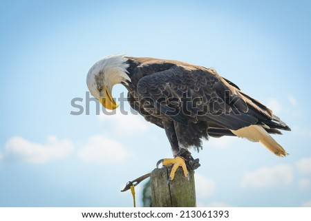 An American Bald Eagle holding it's head down