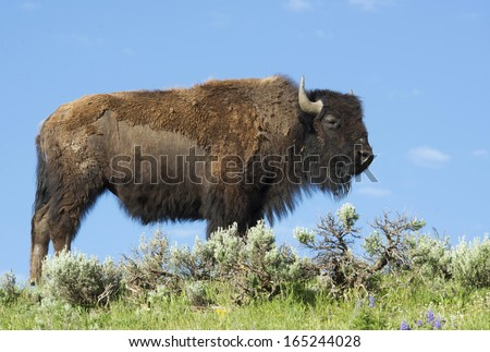 An American Bison stands on a high hill looking around. - stock photo
