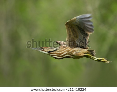 An American bittern flies closely by as the sun highlights its plumage. - stock photo