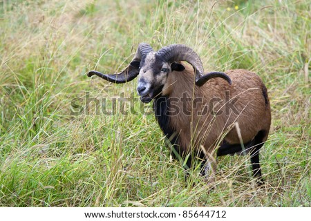 An American blackbellied sheep with majestic horns stands in tall grass.