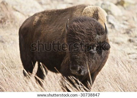 An American Buffalo bull on the plains of Oklahoma losing the last of his winter coat (http://www.artistovision.com/animals/buffalo-bull.html). - stock photo