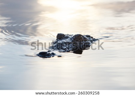 An American crocodile (Crocodylus acutus) appears in the lagoon of Turneffe Atoll off the coast of Belize. This dangerous and large reptile is widespread and males can grow up to 20 feet in length. - stock photo