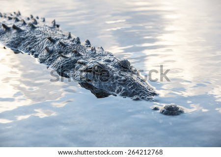 An American crocodile (Crocodylus acutus) surfaces in the lagoon of Turneffe Atoll off the coast of Belize. This large, dangerous reptile is widespread and males can grow up to 20 feet in length. - stock photo