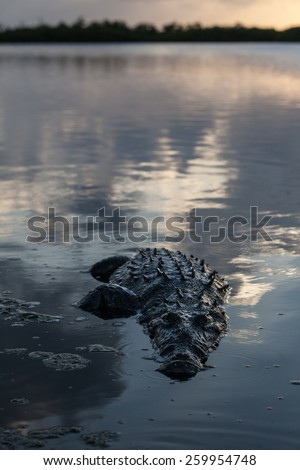 An American crocodile (Crocodylus acutus) surfaces on the edge of Turneffe Atoll off the coast of Belize. This large reptile is widespread and males can grow up to 20 feet in length. - stock photo