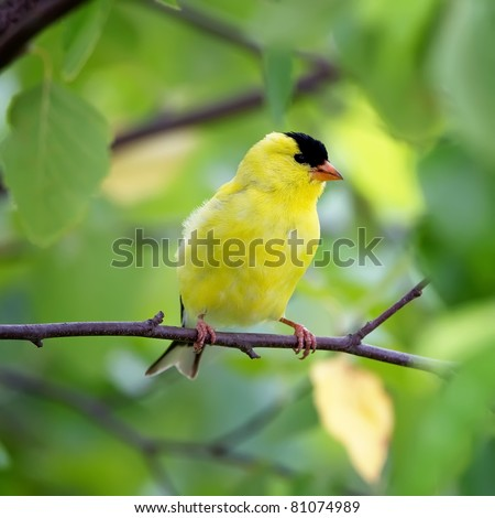 An American Goldfinch perched in a tree with a green background.