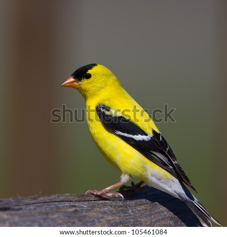 An American Goldfinch perched on a log with a green and brown background.