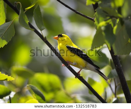 An American Goldfinch perched on a tree limb.