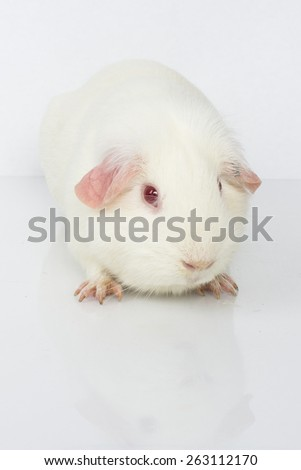 An American guinea pig on a white background.  - stock photo