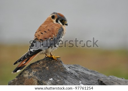 An American kestrel perched on a rock. - stock photo