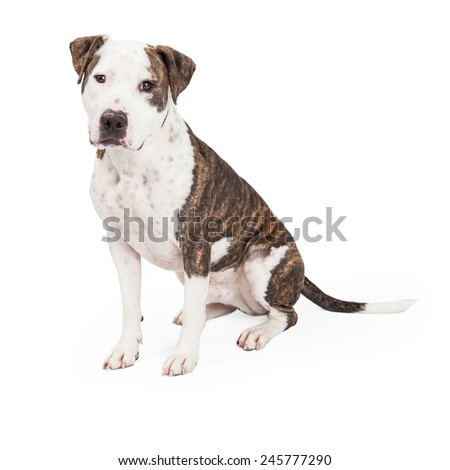 An American Staffordshire Terrier Mixed Breed Dog sitting while looking directly into the camera.  - stock photo