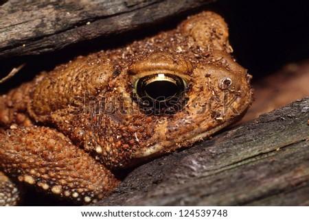 An American Toad (Bufo Americanus) hiding inside of a log - stock photo