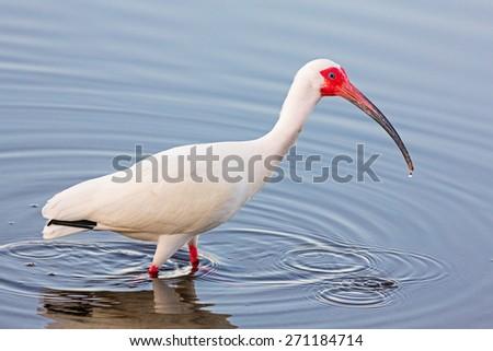 "An American white ibis, Eudocimus albus , wades in shallow water at JN ""DING"" Darling National Wildlife Refuge on Florida's Sanibel Island. - stock photo"