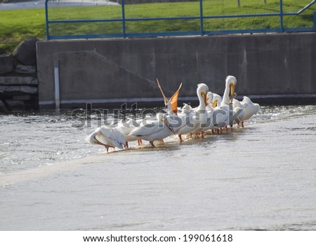 An American White Pelican opening its beak wide while a row of the birds sit along the dam edge. - stock photo
