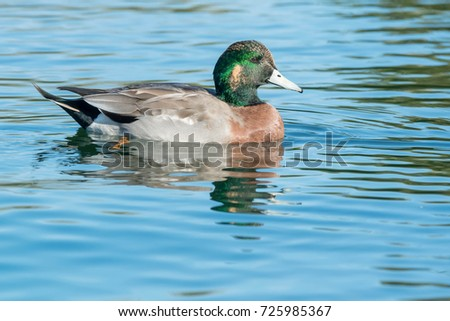 American Wigeon Stock Images, Royalty-Free Images ...