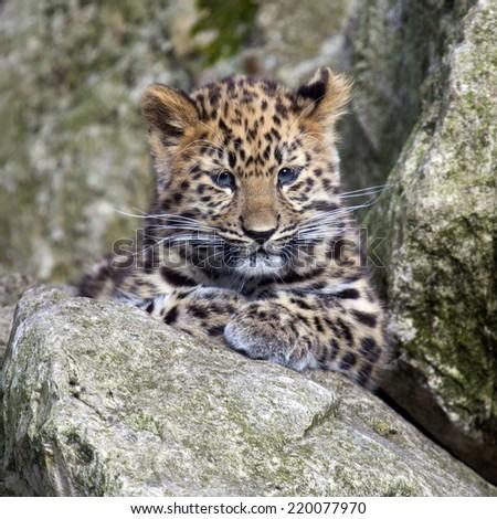 An Amur Leopard cub sitting in some rocks - stock photo