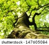 An ancient and gnarly beech tree in the forest. - stock photo