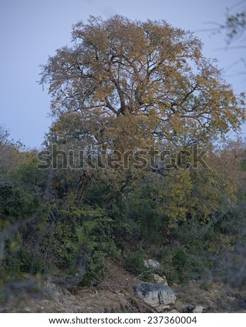 An ancient Jackalberry tree stands sentinel over the dry river - stock photo