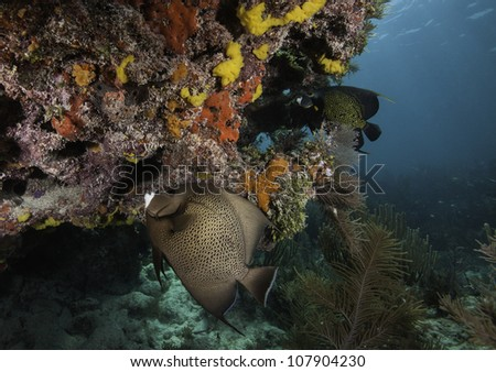 An Angelfish and a french Angel fish swimming over an Atlantic coral reef with a blue water background. In the John Pennekamp State Park in Key Largo, Florida. - stock photo