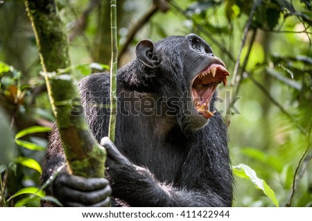 An angry Chimpanzee (Pan troglodytes) shouts in rain forest, giving signs to the relatives.