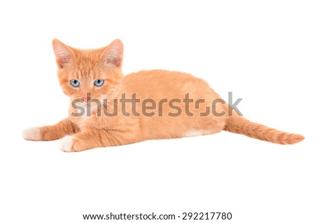 An angry orange tabby kitten laying on a white background - stock photo