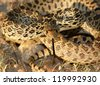 An angry snake coiled defensively and flicking its tongue as the sun sets over the desert - Bull Snake, Pituophis catenifer sayi - stock