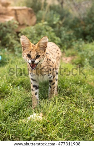 An angry young serval fiercely guarding his meal