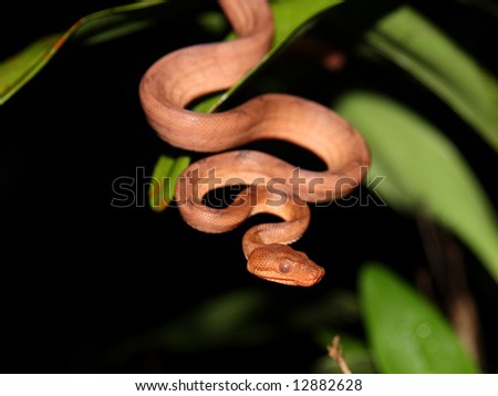 An Annulated Boa in Costa Rica - stock photo